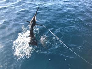 sailfish picture deerfield beach fl